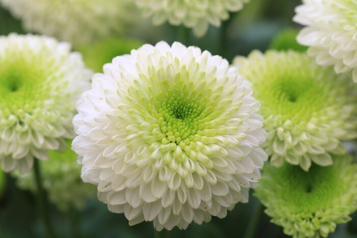 At Bellaflor Group We Have Beautiful Varieties Of Chrysanthemums Know The Meaning And Symbolism Of This Bea Chrysanthemum Flower Flower Meanings Season Plants