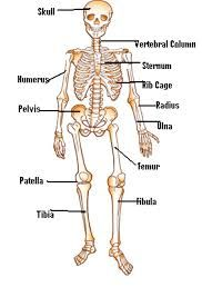 worksheet for grade 3 science on bones - Google Search ...