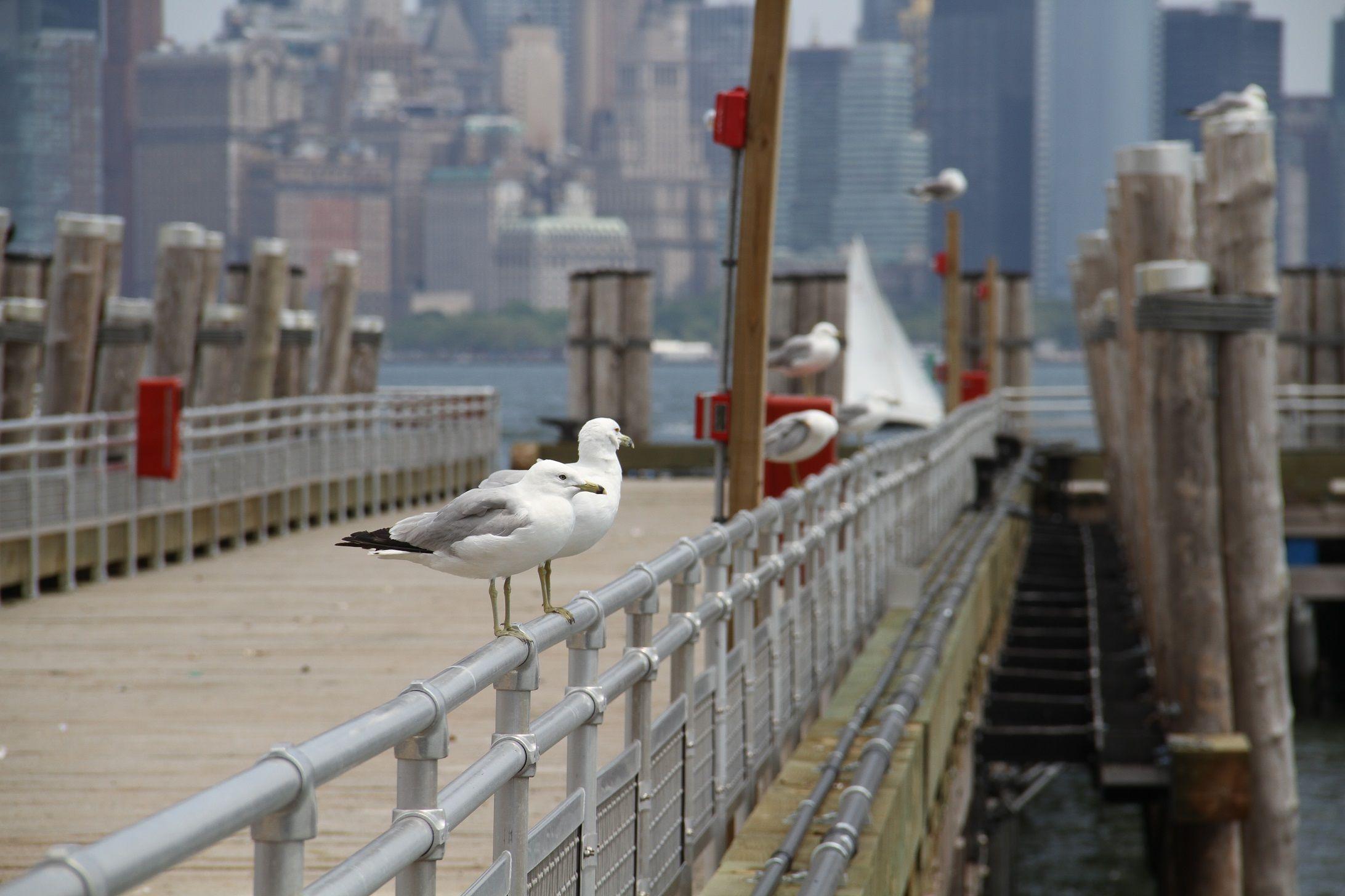 Gaviotas en el muelle de la isla. Al fondo Manhattan.