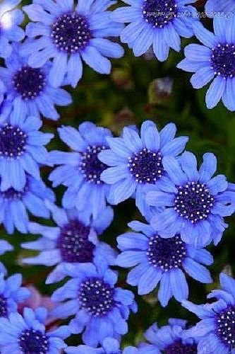 Details About 50 THE BLUES BLUE DAISY FELICIA Heterophlla