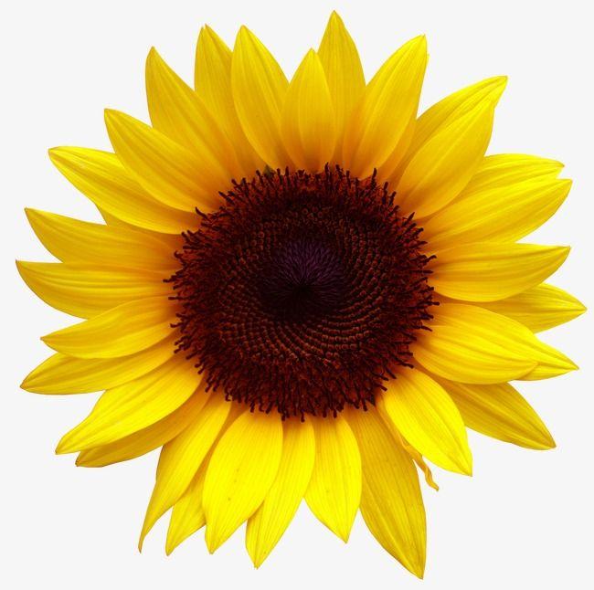 sunflower flowers creative autumn golden