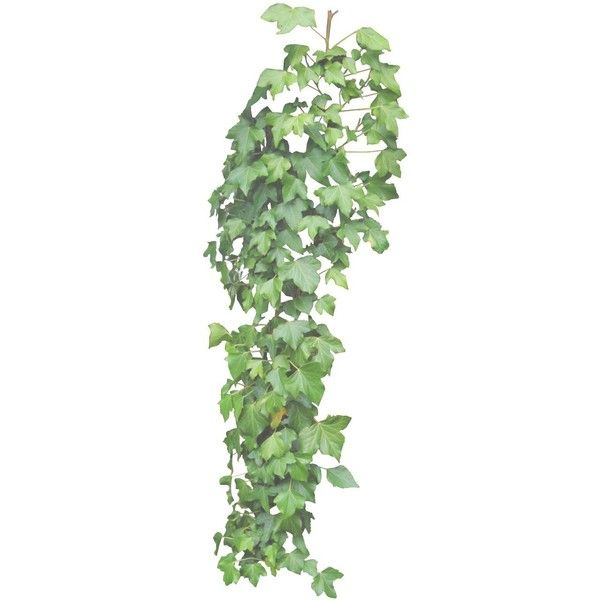 Hanging Ivy Png By Aledjonesstocknart Liked On Polyvore Featuring Home And Home Decor Hanging Plants Ivy Plants Plants