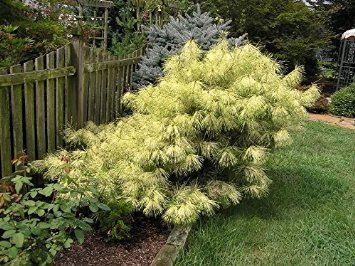 Amazon.com : DRAGONE EYE JAPANESE RED PINE - Pinus densiflora 'Burkes Red Variegated' - HOLDS ITS YELLOW BANDS MUCH BETTER THAN OTHER VARIEGATED PINES 3 -YEAR TREE : Patio, Lawn & Garden