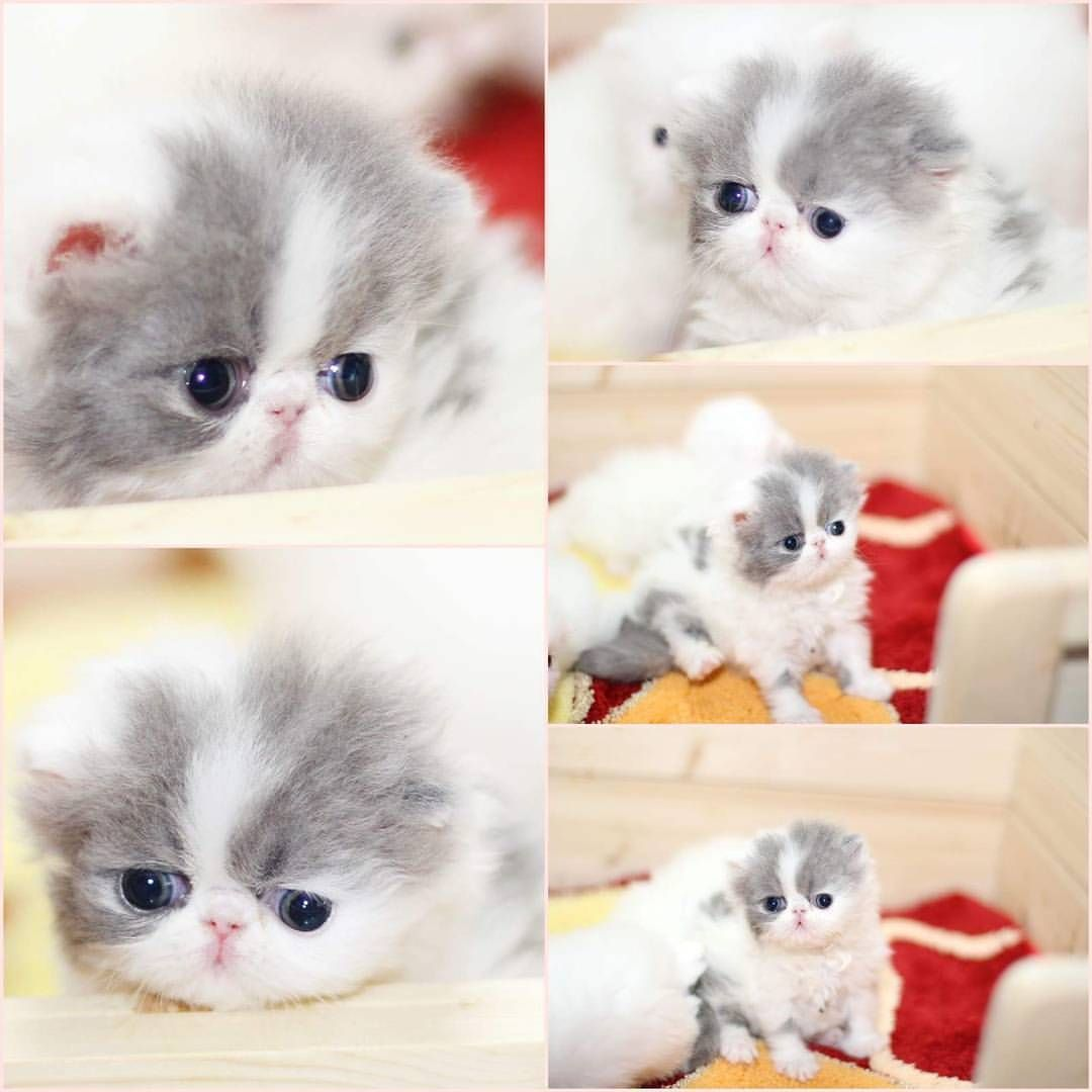 Persian cats and kitties chilli cattery on Instagram
