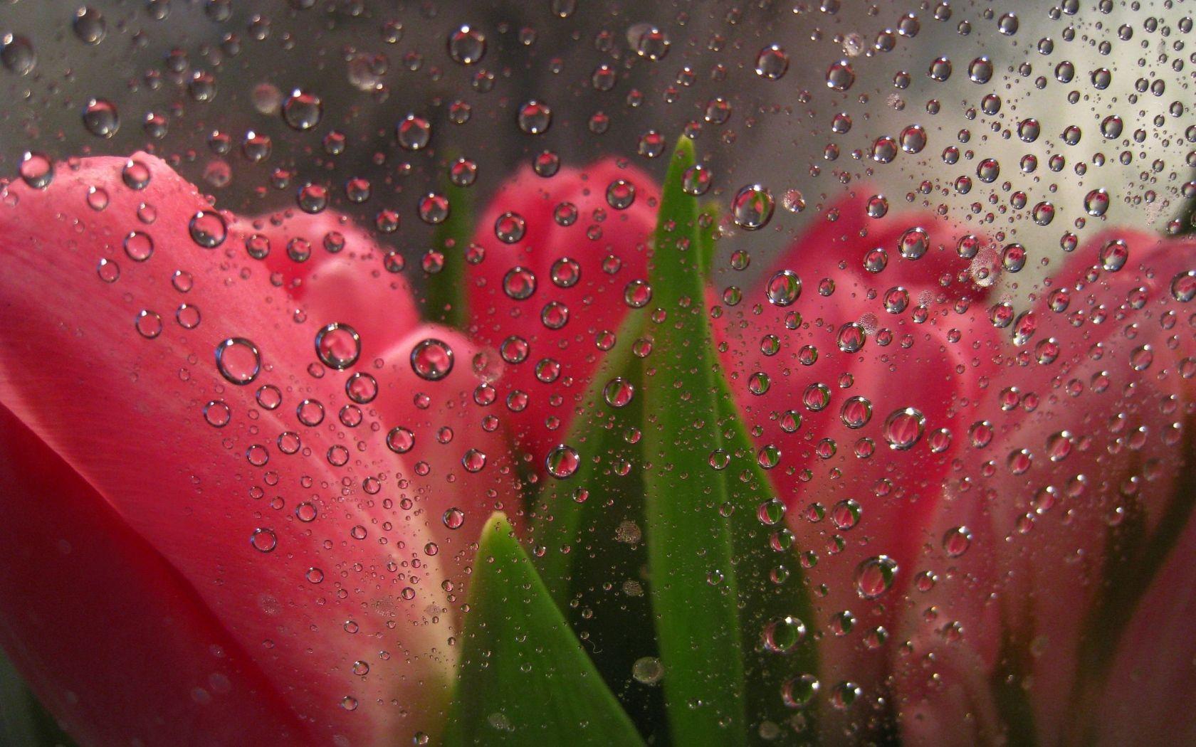 Обои капли, цветы, розовый цветок, цветы. Цветы foto 19