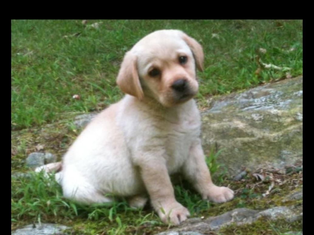 Legacy Labradors In Carmel Ny On American Kennel Club Marketplace