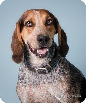 Gilbert Az Bluetick Coonhound Mix Meet Flash A Dog For