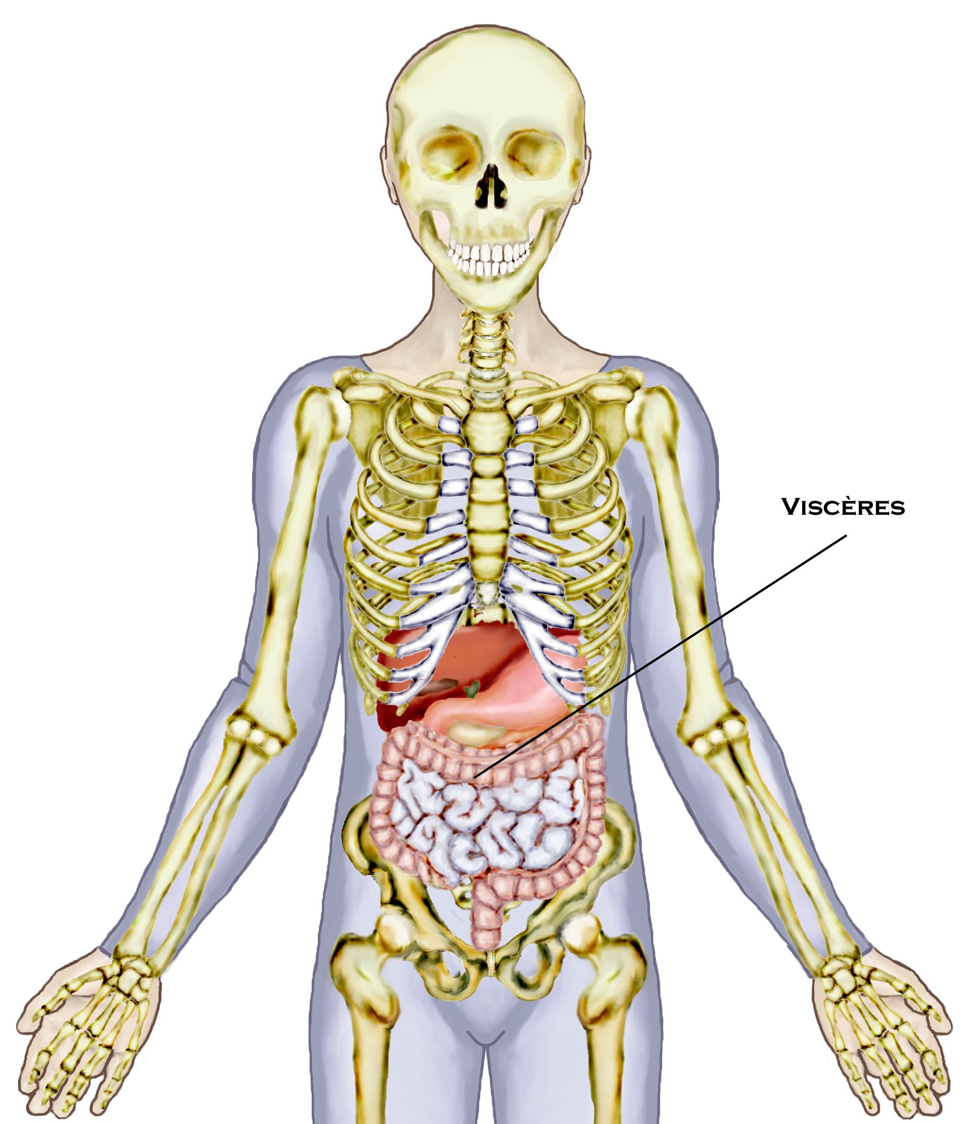 Les visc res intestin grele biliaire et le latin - Sensation de froid interieur du corps ...