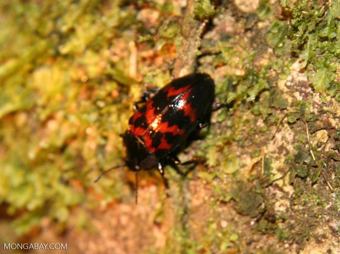 Small Red And Black Pleasing Fungus Beetle Family Erotylidae Beetle Black Beetle Tambopata
