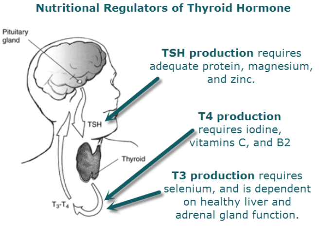 Images Tyrosine And Thyroid Weight Loss Nutritional Regulation