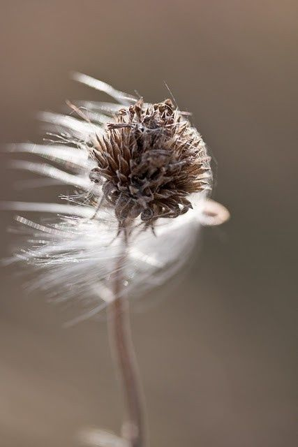 Seeds Photography Dandelion Wind