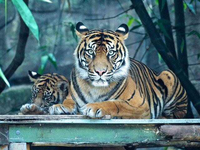 Ojos Tigre, Animales, Ojos