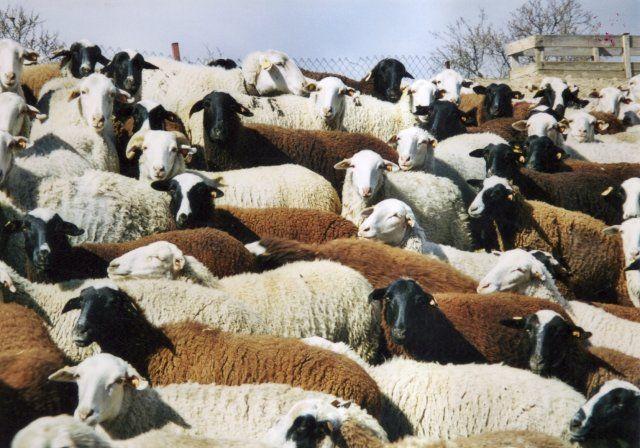 Nuestras razas: la oveja Chamarita – dLana