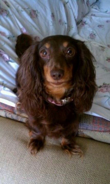 From Craigslist Lost Long Haired Chocolate And Tan Dachshund Female 5 Yrs Old On Feb 1 St On Saluda Dam Rd Dachshund Chocolate Dachshund Long Haired Dachshund