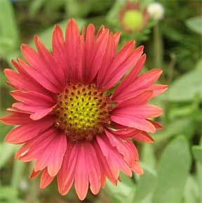 Common perennial flowers for the south this is a really great list common perennial flowers for the south this is a really great list and fyi mightylinksfo Choice Image