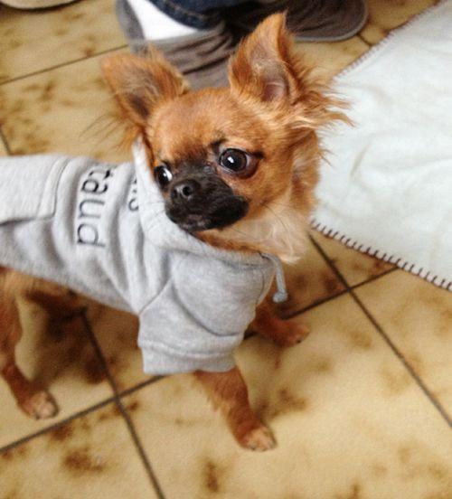 Chihuahua Harybo et son pull oh pacha