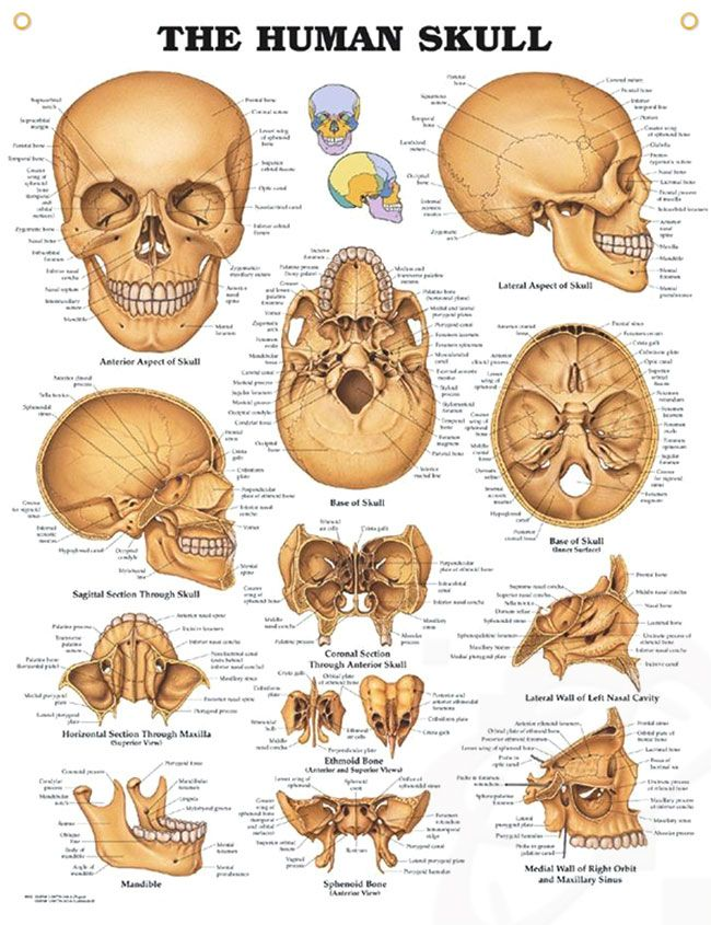 The Human Skull 20x26 | Anatomía