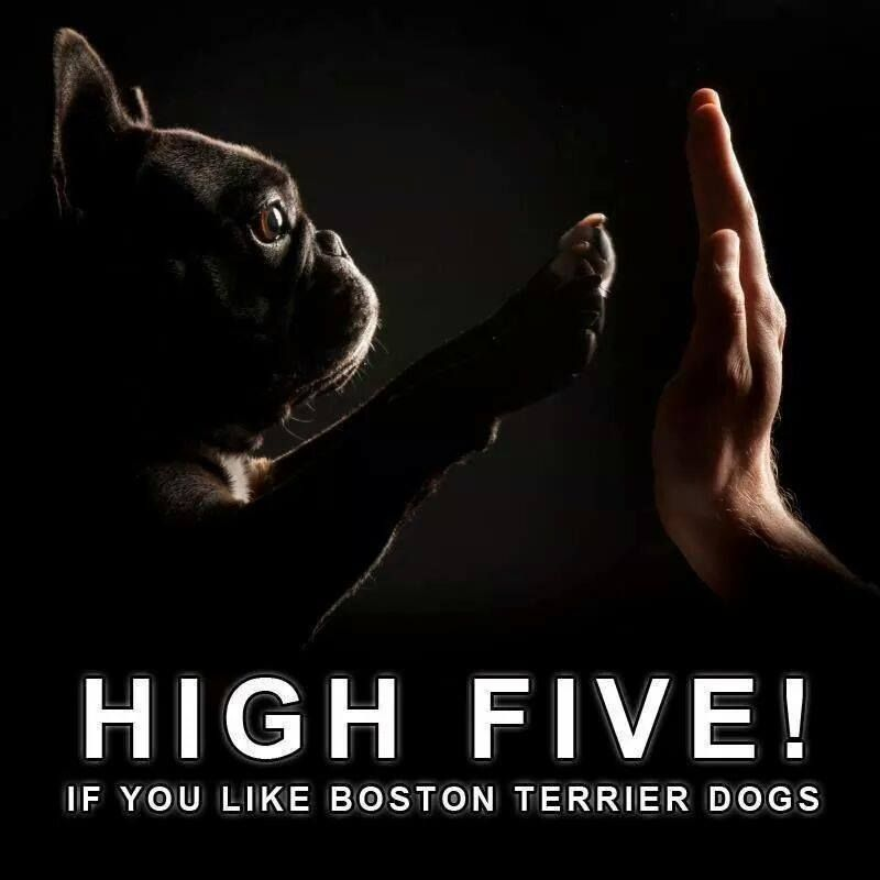 High five if you like Boston Terrier Dogs