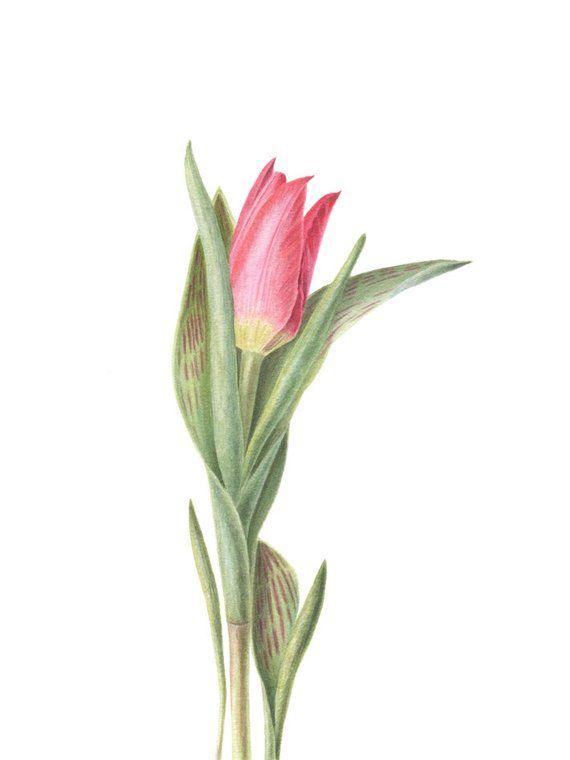 Tulip Art Print Watercolor Painting Giclee Print Botanical
