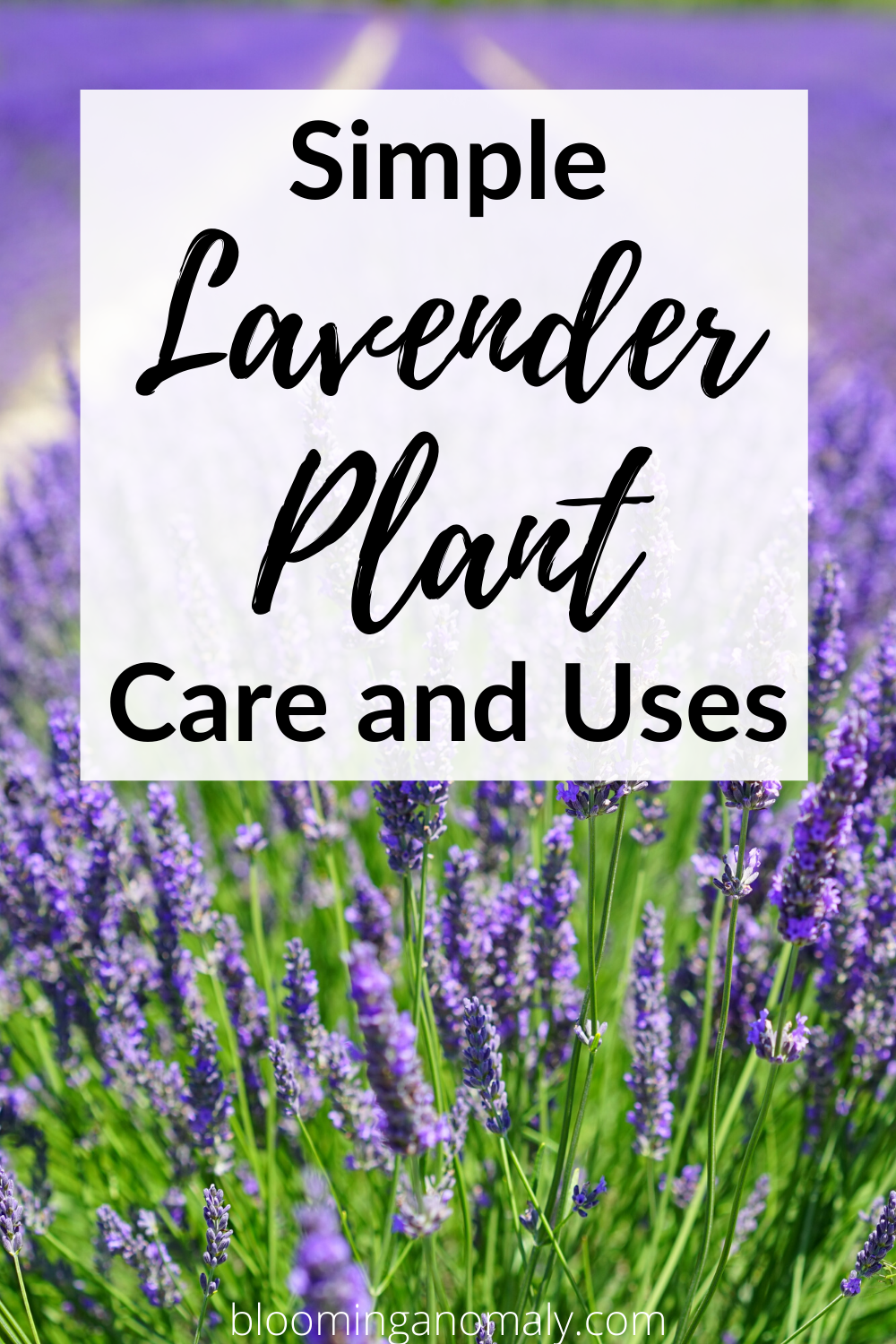 Simple Lavender Plant Care And Uses In 2020 Lavender Plant Care Growing Lavender French Lavender Plant