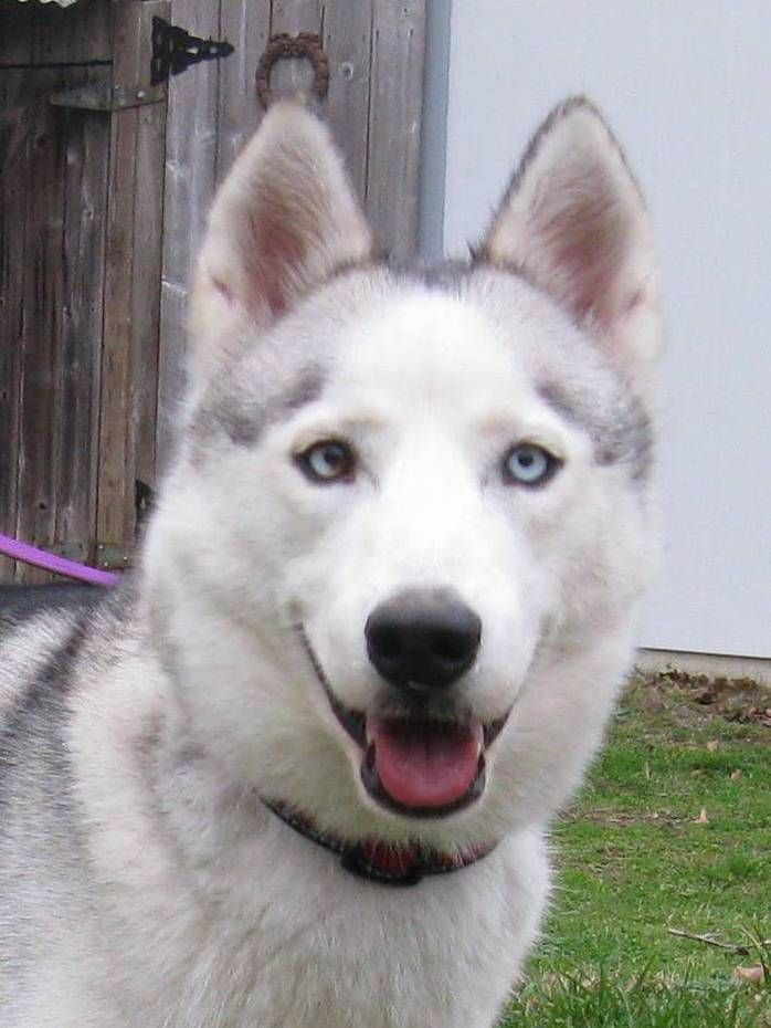 Pin By Alabama Siberian Husky Rescue On Adopted Dogs Forever
