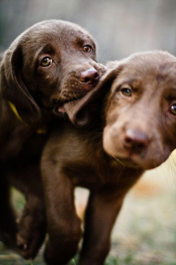 Photo of Cute Lab Puppy 🐾