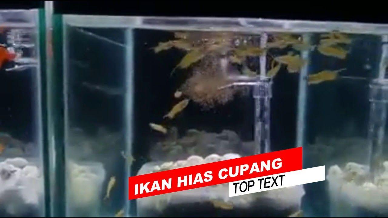7 Ikan Hias Air Tawar Aquarium Terindah (Dengan gambar ...