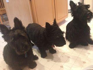 A Scottie Love Story To Remember Scottie Puppies Scottie Scottie Dog