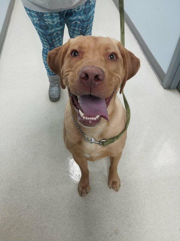 Labrador Retriever Dog For Adoption In Holland Mi Adn 810963 On