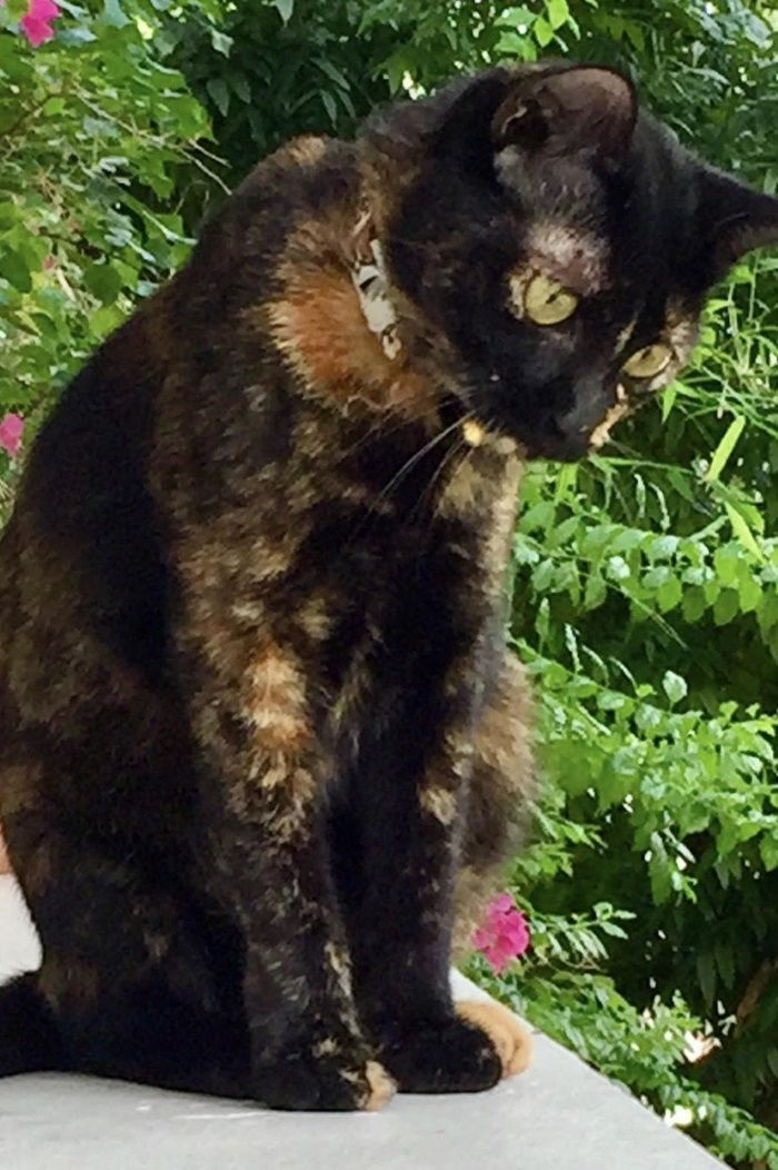 Name of pet SIN Breed tortoiseshell cat Color