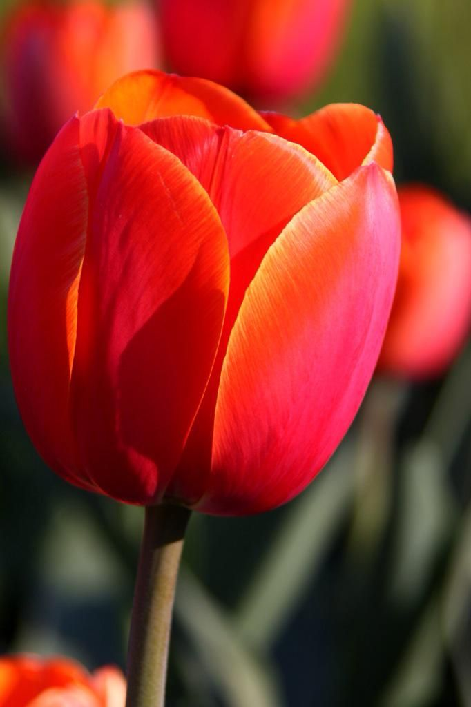 Laurie On Twitter In 2020 Tulips Flowers Tulips Images Romantic Flowers