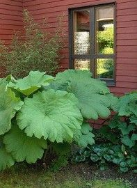 Astilboides : Table leaf, shadow plant