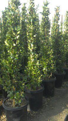 Ligustrum Japonicum Texanum Japanese Privet Wax Leaf Privet 15 Gallon Staked Backyard Fences Fence Landscaping Green Fence
