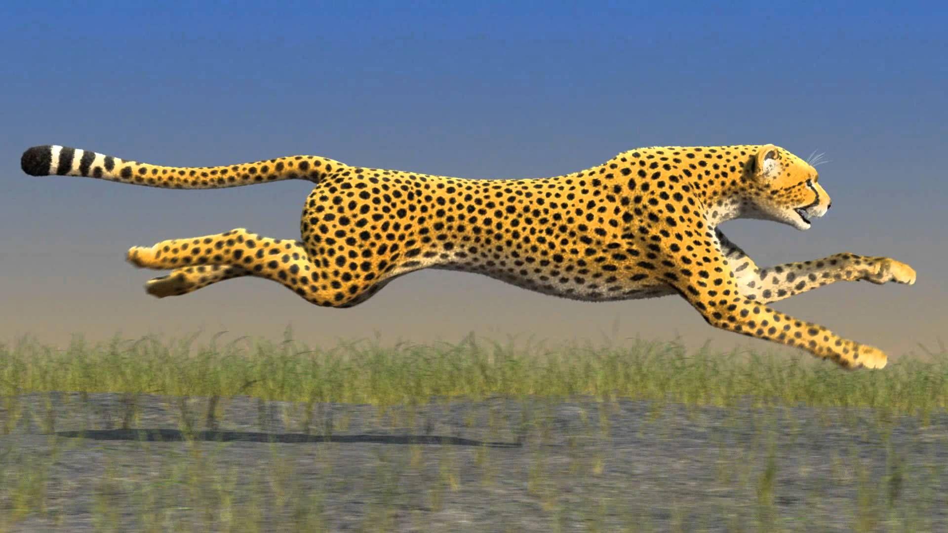 Maxresdefault Jpg 1920 1080 Cheetah Wallpaper Wallpaper Wallpaper Free Download
