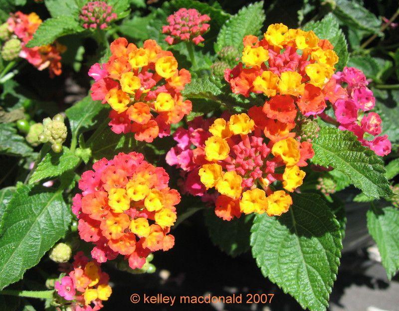 Lantana Sunrise Rose Lantana Flower Pots Bloom Where Youre Planted