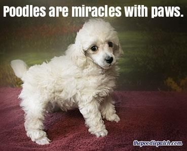 POODLES ARE MIRACLES WITH PAWS
