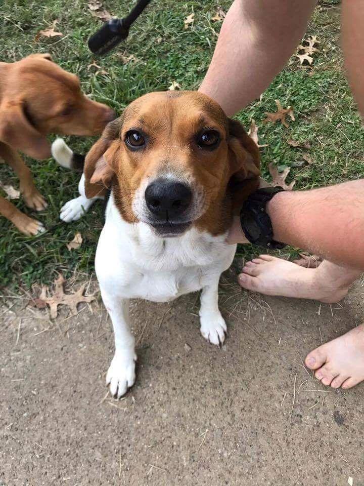 Bagle Hound Dog For Adoption In Cincinnati Oh Adn 664680 On Puppyfinder Com Gender Female Age Adult Dog Adoption Hound Dog Dogs