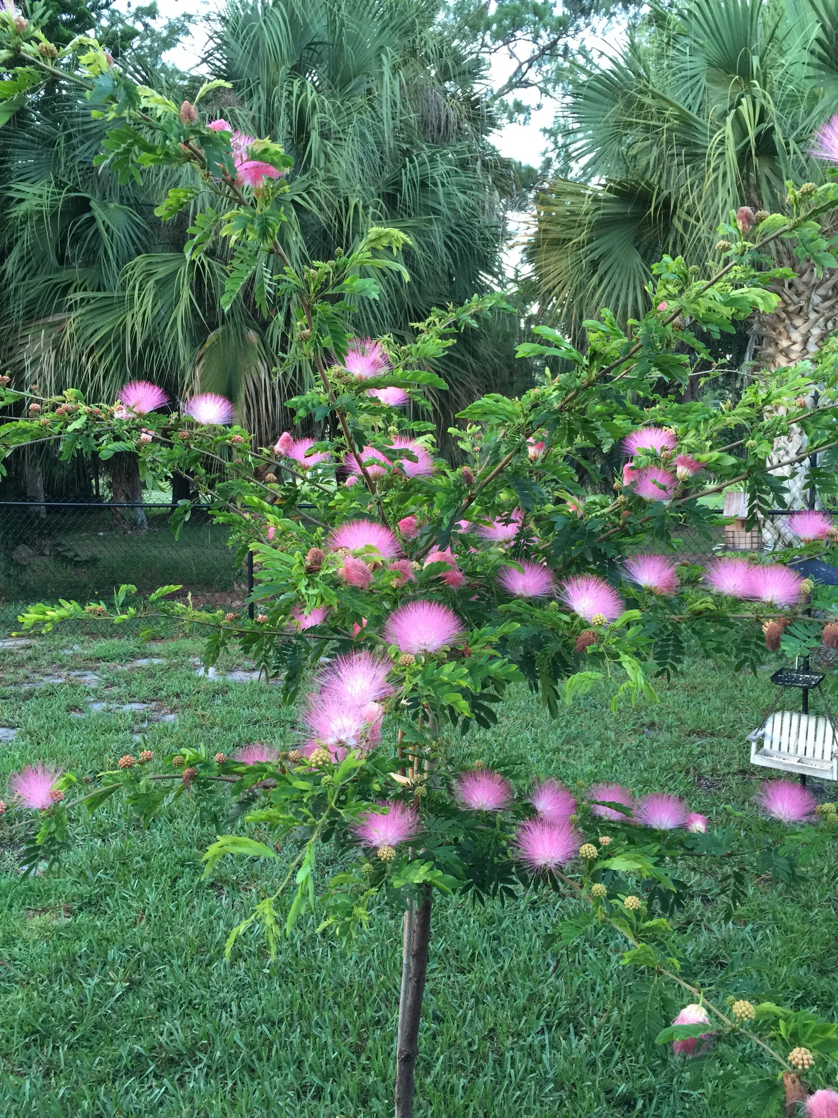 The Powderpuff Tree Brings Many Butterflies And Hummingbirds To Your Garden Mine Is In Full Bloom This Summer Flowering Trees Pretty Plants Trees To Plant