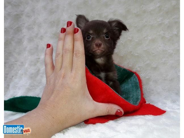 Extremely Tiny Micro Apple Head Chihuahua Male Approx 3lbs Full