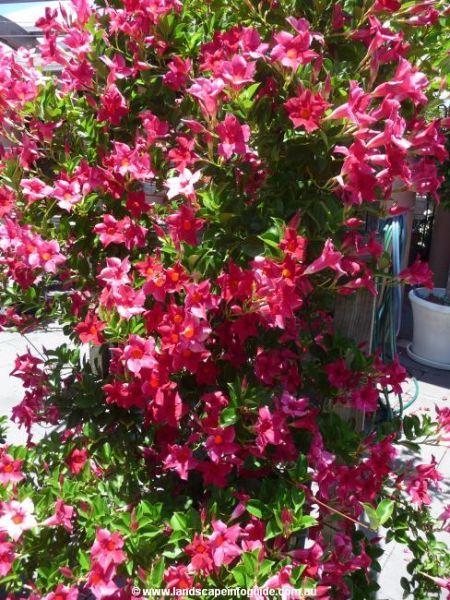 Dipladenia sanderi scarlet pimpernel plants gardens for Dipladenia sanderi