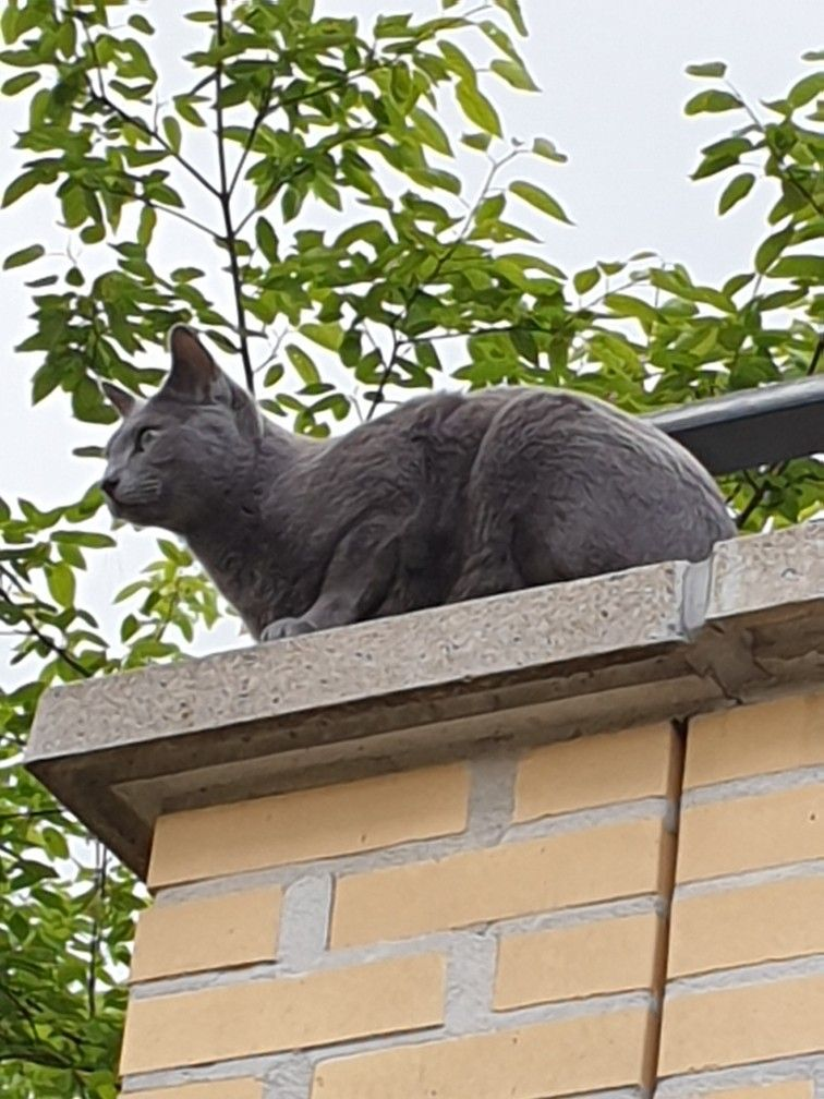 Pin By Todd Ambrose On Russian Blue Russian Blue Cats Cat Love