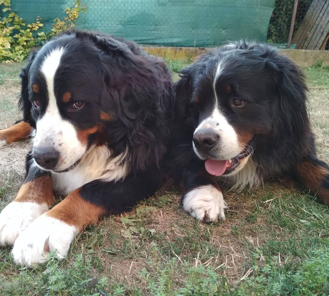 My Two Barney Fido Dogs Bernese Mountain Dog Dog Films