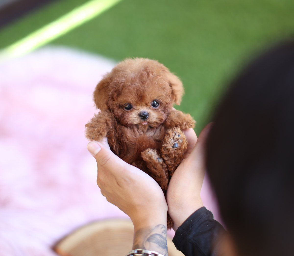 Puppies Teacup Puppies For Sale Teacup Puppy Miniature Toy Dogs In 2020 Toy Dog Breeds Toy Poodle Puppies Teacup Puppies For Sale
