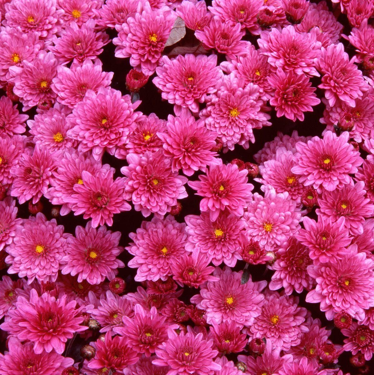 Beautiful Flowers Wallpaper Free Download Mums Flowers Beautiful Flowers Images Flower Images