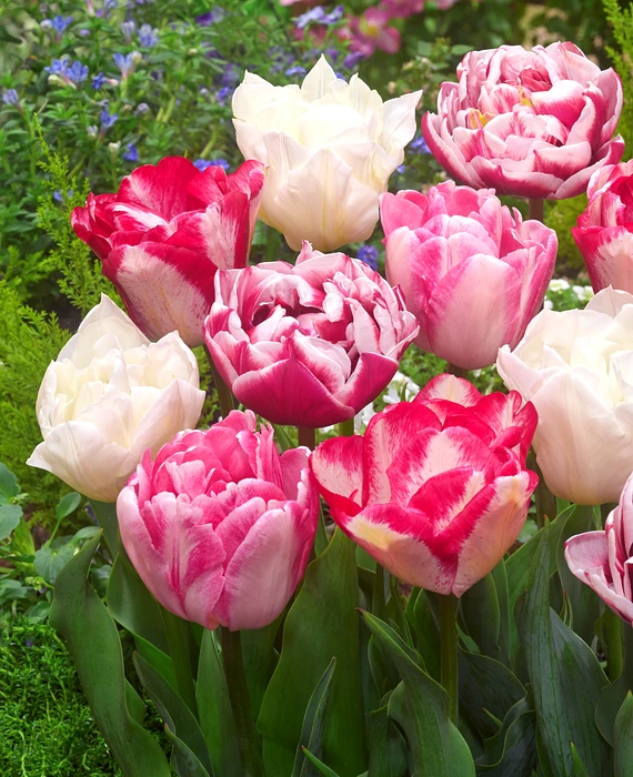 Tulip Marshmallow Collection In 2020 Spring Garden Flowers Planting Tulips Fall Bulbs