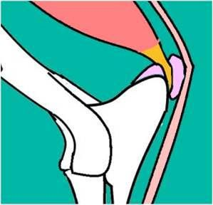 Elbow joint in the dog and the horse   Horses, Joint, Dogs