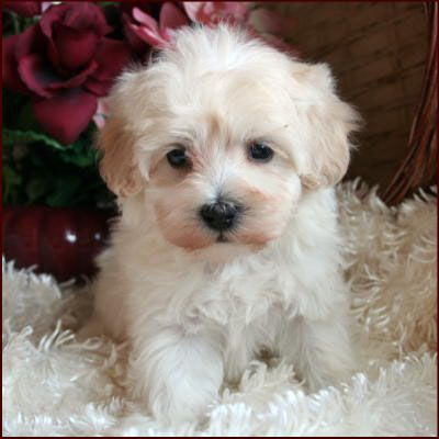 Maltipoo face Cookie CutterMaltais Mix Race caniche chien miniature portrait
