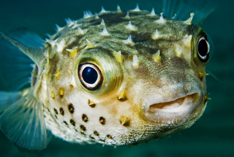 Some Of The Most Dangerous Animals Puffer Fish Animals Dangerous Animals