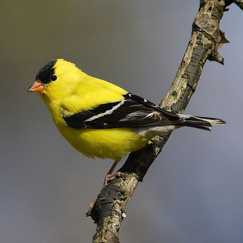 State Bird Goldfinch Finches Bird Goldfinch Backyard Birds