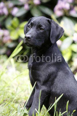 Schwarzer Labrador Retriever Welpe Labrador retriever